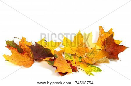 Dry Multicolor Maple-leafs On White Background