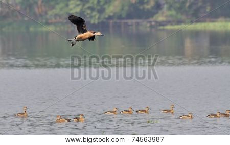 Bird, Lesser Whistling Duck Flying