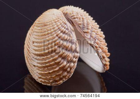 single seashell of bivalvia isolated on black background