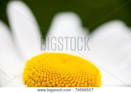 Closeup Of The Blooming Oxeye Daisy