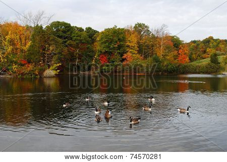 Autumn Pond With Canadian Geese Swimming