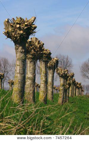 Pollard Willow Trees