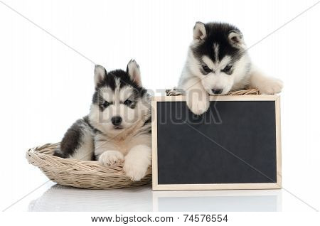 Cute Siberian Husky Puppy Holding Chalk Board  Isolated