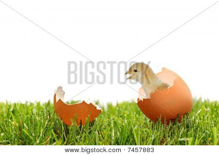 A view of a baby chicken on a green grass