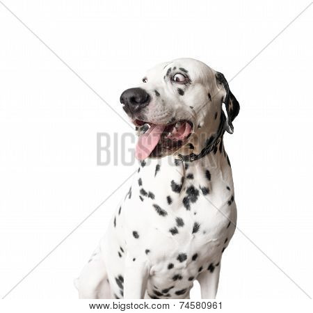 Funny Dalmatian Dog with Tongue Hanging Out.
