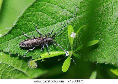 beetle Longhorn beetle