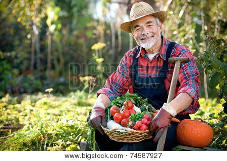 Senior gardener with a basket of harvested vegetables  in the garden