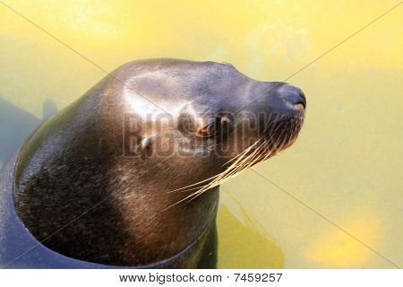 Australian Sea Lion - Neophoca Cinerea