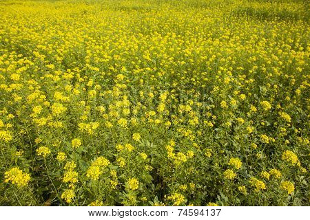 Yellow Mustard Seed In Field
