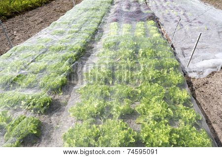 Lettuce Plants Under A Protective Net.