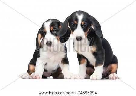 Two puppies isolated on white background. Westphalian Dachsbracke.
