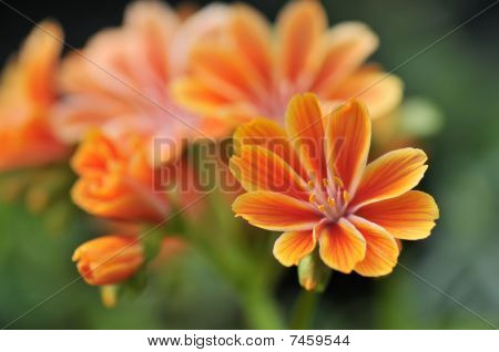Orange Yellow Lewisia Cotyledon Flowers