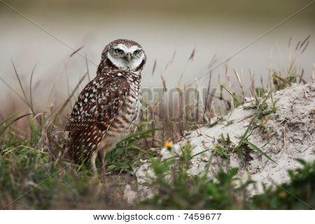 Curious Burrowing Owl
