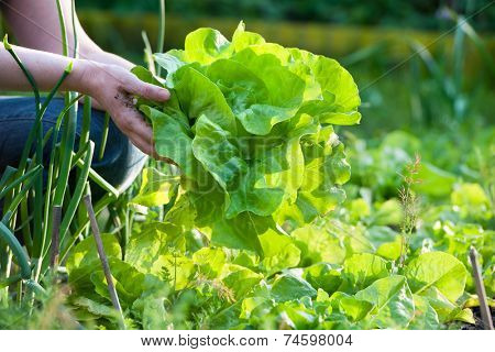woman picking fresh salad from her vegetable garden