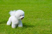 stock photo of bichon frise dog  - bichon frise on a green grass outdoors - JPG