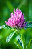 pic of red clover  - Red flower Clover flowerhead with drops on a green background - JPG