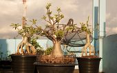 picture of desert-rose  - Adenium obesum tree or Desert rose in flowerpot - JPG
