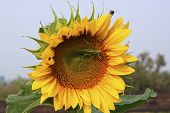 pic of locusts  - Locusts and bees are sitting on the sunflower - JPG