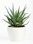 foto of plant pot  - Succulent Aloe Vera Plant on White Pot Isolated on White Background - JPG