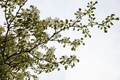stock photo of dogwood  - Dogwood blooming branches with white flowers against the white sky background - JPG