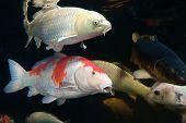 stock photo of koi fish  - Different colorful koi fishes swimming in aquarium - JPG