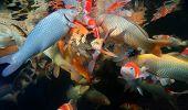 picture of koi fish  - Different colorful koi fishes swimming in aquarium - JPG