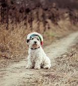 image of westie  - dog in the hat walking in a field in autumn - JPG