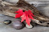 pic of driftwood  - Vibrant red maple leaves in autumn color on aged driftwood - JPG