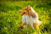 stock photo of sheltie  - Sheltie dog breed posing outdoors on a green lawn on a sunny day - JPG