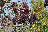 stock photo of elderberry  - Growing elderberry fruits on a background of blue sky - JPG