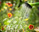 picture of spray can  - Watering flowers with a watering can - JPG
