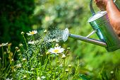 pic of spray can  - Watering flowers with a watering can - JPG
