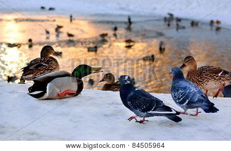 Wild Ducks And Pigeons Pond In Winter