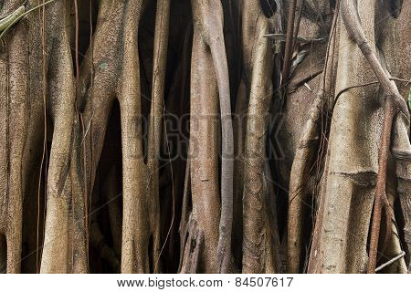 Close-up of banyan tree roots