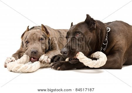 Two pit bull together gnaw rope