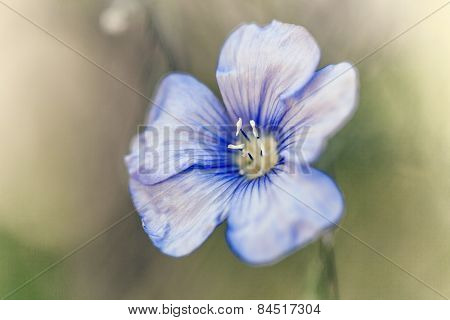 Beautiful Flax Flower  On Meadow