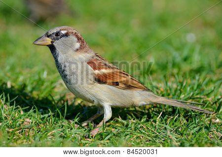 Sparrow on Grass
