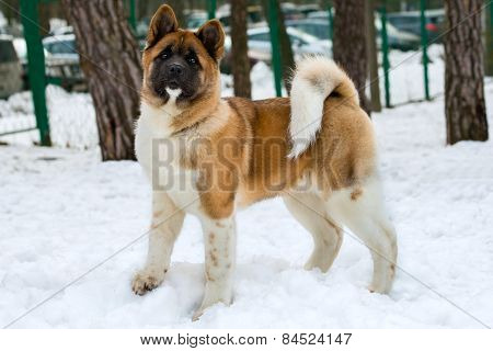 Akita Inu in snow.