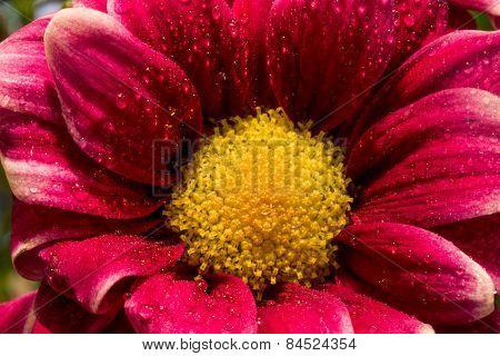 Magenta Wildflower