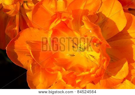 Tulip In Keukenhof Park