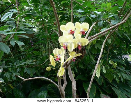 Yellow Orchid in Tropical Forest