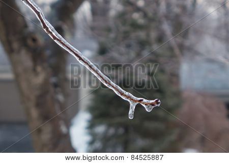ice covered cherry buds