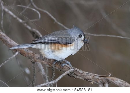 Tufted Titmouse On A Red Cedar Branch