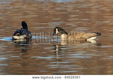 Canada Geese In Late Afternoon Light