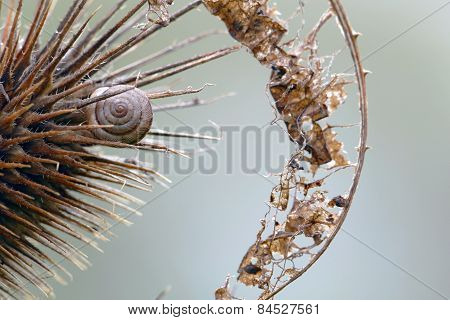Gastropod Shell In A Teasel An  Dry Leaf