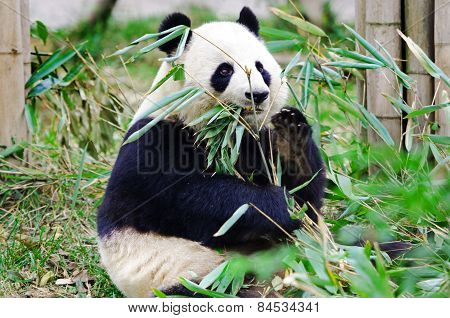 Giant Panda Eating Bamboo, Chengdu. China.