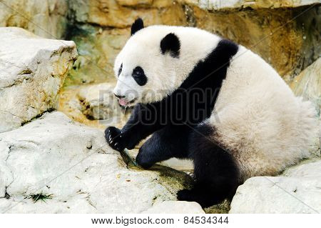 Giant Panda Drinking Water, China.