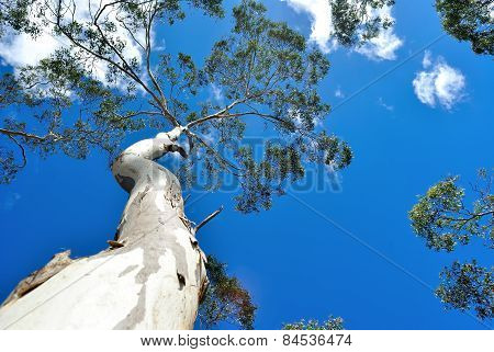 Eucalyptus Tree Background
