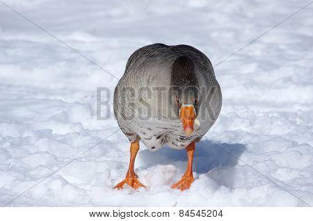 Gray Goose On White Snow
