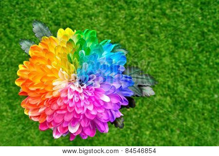 Multicolored Chrysanthemum
